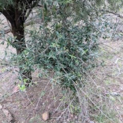 Olea europaea subsp. cuspidata (African Olive) at Mount Majura - 18 Nov 2017 by WalterEgo