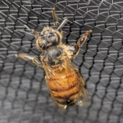 Apis mellifera (European honey bee) at Higgins, ACT - 18 Nov 2017 by Alison Milton