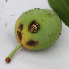 Harmonia conformis (Common Spotted Ladybird) at Higgins, ACT - 18 Nov 2017 by AlisonMilton