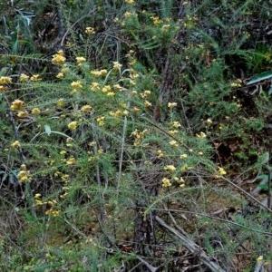 Dillwynia retorta at Currowan State Forest - 16 Nov 2017