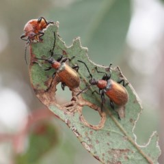 Ecnolagria grandis (Honeybrown beetle) at Forde, ACT - 18 Nov 2017 by David