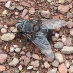 Rutilia (Donovanius) sp. (genus & subgenus) (A Bristle Fly) at Mulligans Flat - 18 Nov 2017 by David