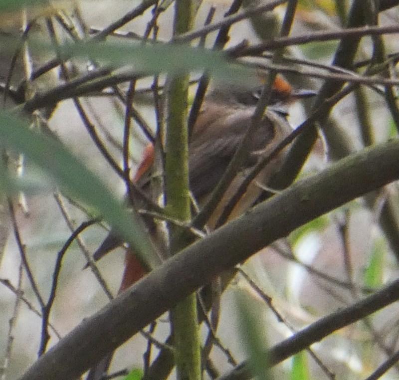 Rhipidura rufifrons at Wandiyali-Environa Conservation Area - 19 Nov 2017