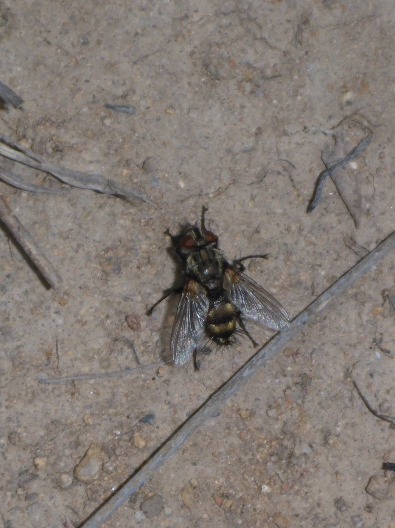 Tachinidae sp. (Family) at Theodore, ACT - 19 Oct 2017
