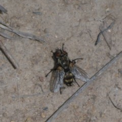 Tachinidae sp. (family) (Unidentified Bristle fly) at Tuggeranong Hill - 19 Oct 2017 by JanetRussell