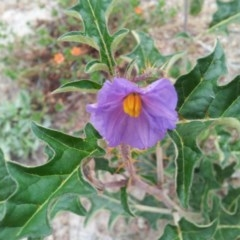 Solanum cinereum (Narrawa Burr) at Mount Taylor - 17 Nov 2017 by RosemaryRoth