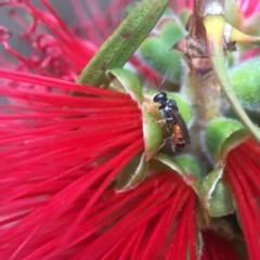 Hylaeus (Prosopisteron) littleri (Hylaeine colletid bee) at Jerrabomberra Wetlands - 19 Nov 2017 by PeterA
