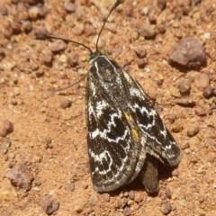 Synemon plana (Golden Sun Moth) at Mount Ainslie - 19 Nov 2017 by Christine