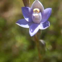 Thelymitra pauciflora (Slender sun orchid) at Tralee, ACT - 10 Nov 2017 by MichaelMulvaney