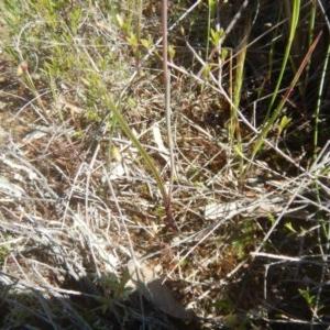 Thelymitra pauciflora at Tralee, ACT - 10 Nov 2017