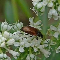 Alleculinae sp. (Subfamily) (Unidentified Comb-clawed beetle) at Currowan State Forest - 15 Nov 2017 by MaxCampbell