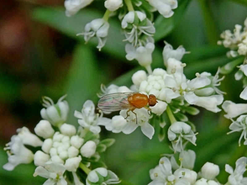 Sapromyza sp. at Currowan State Forest - 16 Nov 2017