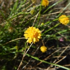 Calotis lappulacea (Yellow burr daisy) at Mount Painter - 18 Nov 2017 by CathB