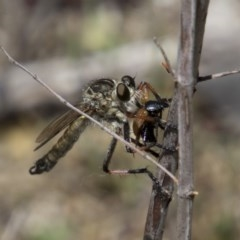 Dolopus rubrithorax (Large Brown Robber Fly) at Mount Ainslie - 20 Nov 2017 by Alison Milton
