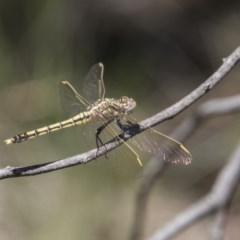 Orthetrum caledonicum (Blue Skimmer) at The Pinnacle - 20 Nov 2017 by Alison Milton