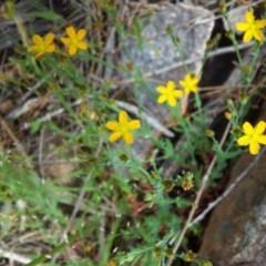 Hypericum gramineum (Small St Johns Wort) at Mount Taylor - 17 Nov 2017 by RosemaryRoth