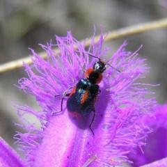 Dicranolaius villosus (Melyrid flower beetle) at Mount Taylor - 22 Nov 2017 by MatthewFrawley