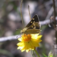 Trapezites luteus (Yellow Ochre, Rare White-spot Skipper) at Kambah, ACT - 22 Nov 2017 by MatthewFrawley