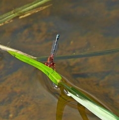 Xanthagrion erythroneurum (Red and Blue Damsel) at Brogo, NSW - 22 Nov 2017 by MaxCampbell