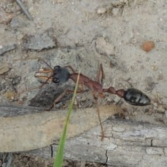 Myrmecia nigriceps (Black-headed bull ant) at Conder, ACT - 12 Nov 2017 by michaelb