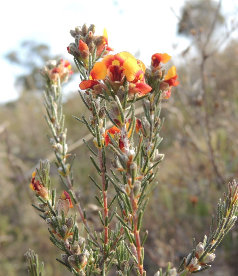 Dillwynia sericea at Theodore, ACT - 19 Oct 2017