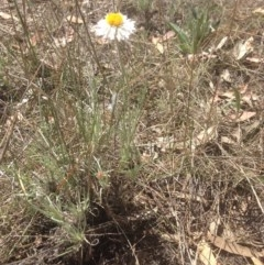 Leucochrysum albicans subsp. tricolor (Hoary Sunray) at Watson Woodlands - 10 Oct 2017 by MelitaMilner