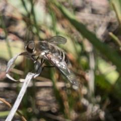 Villa sp. (genus) (Unidentified Villa bee fly) at Bullen Range - 22 Nov 2017 by SWishart