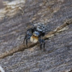 Euophryinae sp.(Undescribed) (subfamily) (A jumping spider) at Illilanga & Baroona - 15 Nov 2017 by Illilanga