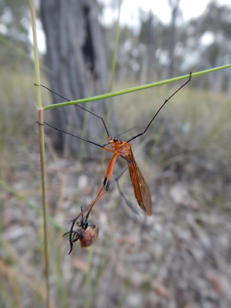 Harpobittacus australis at Aranda Bushland - 12 Nov 2017
