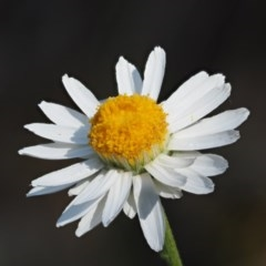 Rhodanthe anthemoides (Chamomile Sunray) at Molonglo Gorge - 14 Nov 2017 by KenT