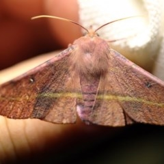 Oenochroma vinaria (Pink-bellied moth) at O'Connor, ACT - 23 Nov 2017 by ibaird