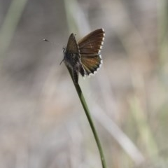 Neolucia agricola (Fringed Heath-blue) at Illilanga & Baroona - 12 Nov 2017 by Illilanga