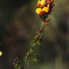 Dillwynia phylicoides (A Parrot-pea) at Tuggeranong Hill - 25 Sep 2001 by michaelb