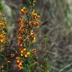 Dillwynia phylicoides at Tuggeranong Hill - 26 Sep 2001