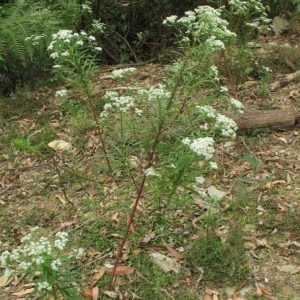 Poranthera corymbosa at Currowan State Forest - 16 Nov 2017