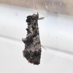 Arrade destituta (A Noctuid moth) at Tidbinbilla Nature Reserve - 24 Nov 2017 by JohnBundock