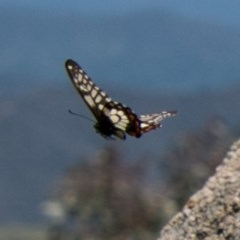 Papilio anactus (Dainty Swallowtail) at Cooleman Ridge - 25 Nov 2017 by SWishart