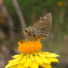 Trapezites luteus (Yellow Ochre, Rare White-spot Skipper) at Mount Taylor - 24 Nov 2017 by MatthewFrawley