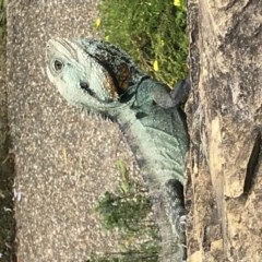 Intellagama lesueurii (Eastern Water Dragon) at ANBG - 26 Nov 2017 by AaronClausen