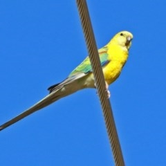Neophema pulchella (Turquoise Parrot) at Fyshwick, ACT - 21 May 2017 by RodDeb