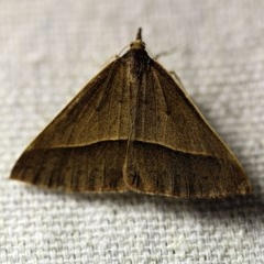 Epidesmia chilonaria (Triangular Geometrid Moth) at O'Connor, ACT - 24 Nov 2017 by ibaird