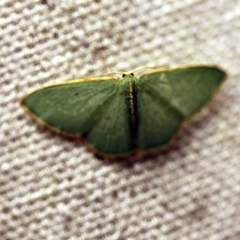 Chlorocoma dichloraria (Doubled-fringed or Guenee's Emerald) at O'Connor, ACT - 24 Nov 2017 by ibaird