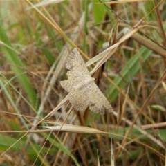 Taxeotis intextata (Looper Moth, Grey Taxeotis) at Belconnen, ACT - 25 Nov 2017 by CathB