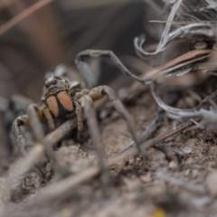 Tasmanicosa sp. (genus) (Unidentified Tasmanicosa wolf spider) at Murrumbateman, NSW - 26 Nov 2017 by SallyandPeter