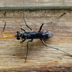 POMPILIDAE (Unidentified Spider wasp) at Brogo, NSW - 25 Nov 2017 by MaxCampbell