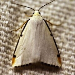 Termessa nivosa (Snowy Footman) at O'Connor, ACT - 23 Nov 2017 by ibaird