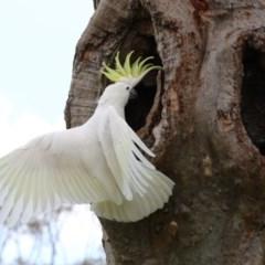Cacatua galerita (Sulphur-crested Cockatoo) at Higgins, ACT - 12 Nov 2017 by Alison Milton