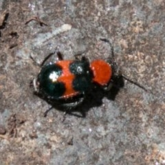Dicranolaius bellulus (Red and Blue Pollen Beetle) at Namadgi National Park - 1 Nov 2017 by SWishart