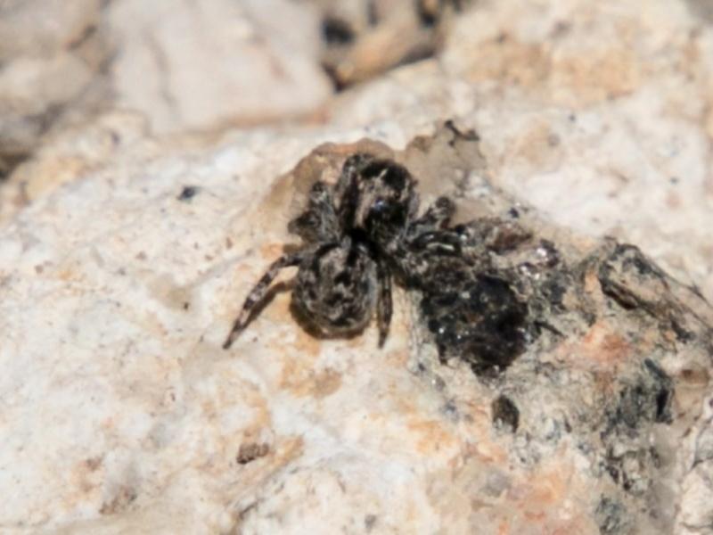 Salticidae (family) at Namadgi National Park - 1 Nov 2017