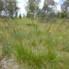 Festuca arundinacea (Tall Fescue) at Sth Tablelands Ecosystem Park - 31 Oct 2017 by AndyRussell